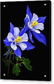 Acrylic Print featuring the photograph Columbine Duet by Priscilla Burgers