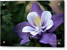 Columbine In Lavender Acrylic Print by Julie Palencia