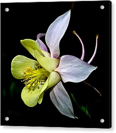 Acrylic Print featuring the photograph Columbine by Jane McIlroy