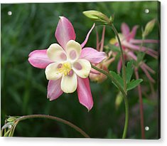Acrylic Print featuring the photograph Columbine by Kathryn Meyer