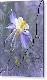 Columbine On Cracked Wall Acrylic Print