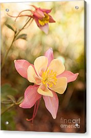 Columbine Acrylic Print by Roselynne Broussard