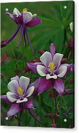 Acrylic Print featuring the photograph Columbines by Ken Dietz