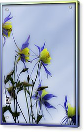 Acrylic Print featuring the photograph Columbines by Peter v Quenter