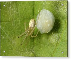 Comb-footed Spider Acrylic Print by Nigel Downer