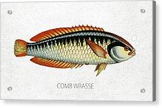 Comb Wrasse Acrylic Print
