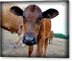 Acrylic Print featuring the photograph Come Close For A Cow Kiss by Amanda Vouglas