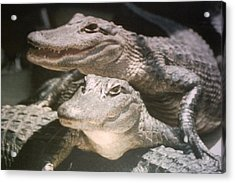 Acrylic Print featuring the photograph Florida Alligators Come Closer by Belinda Lee