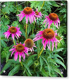 Acrylic Print featuring the photograph Comely Coneflowers by Meghan at FireBonnet Art
