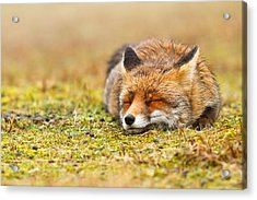 Comfortably Fox Acrylic Print by Roeselien Raimond