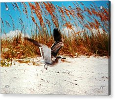 Windy Seagull Landing Acrylic Print by Belinda Lee