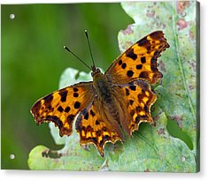 Comma Butterfly France Acrylic Print