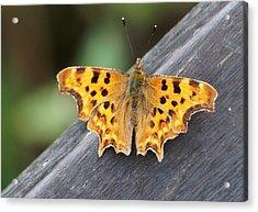 Comma Butterfly Acrylic Print