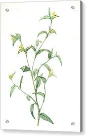 Commelina Africana, Comméline Dafrique, African Dayflower Acrylic Print