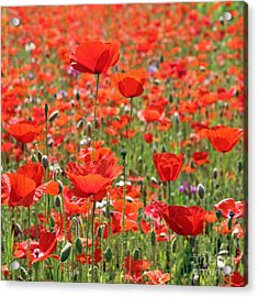 Commemorative Poppies Acrylic Print