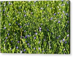 Commercial Flax Field Near Mott, North Acrylic Print by Chuck Haney