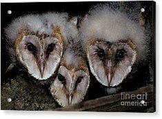 Common Barn Owl Chicks Tyto Alba Acrylic Print