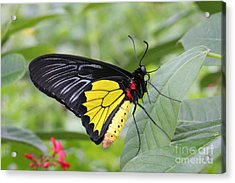 Acrylic Print featuring the photograph Common Birdwing Butterfly by Judy Whitton