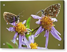 Common Blue Butterflies Covered In Dew Acrylic Print by Bob Gibbons