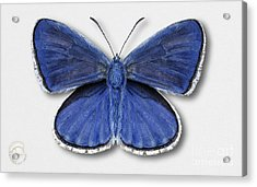 Common Blue Butterfly - Polyommatus Icarus Butterfly Naturalistic Painting - Nettersheim Eifel Acrylic Print
