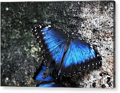 Common Blue Morpho Acrylic Print by Ginger Harris