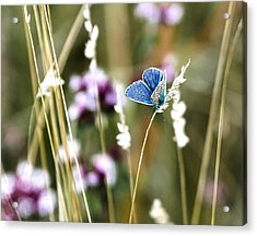 Common Blue  Acrylic Print