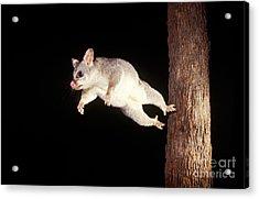 Common Brush-tailed Possum Acrylic Print