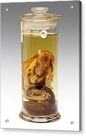 Common Brushtail Possum Specimen Acrylic Print by Ucl, Grant Museum Of Zoology