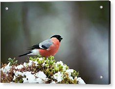 Common Bullfinch Acrylic Print by Dr P. Marazzi/science Photo Library