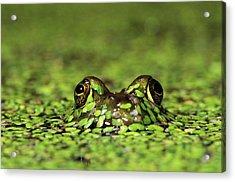 Common Bullfrog Rana Catesbeiana Male Acrylic Print