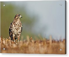 Acrylic Print featuring the photograph Common Buzzard by Paul Scoullar