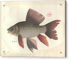 Common Carp Acrylic Print by Natural History Museum, London