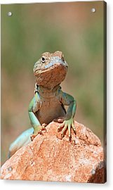 Acrylic Print featuring the photograph Common Collared Lizard 2 by Elizabeth Budd