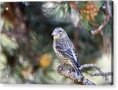 Common Crossbill Juvenile Acrylic Print