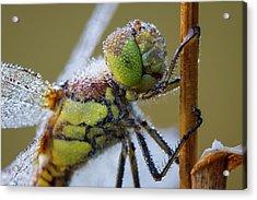 Common Darter Dragonfly Acrylic Print by Heath Mcdonald
