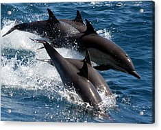 Common Dolphins Acrylic Print by Valerie Broesch