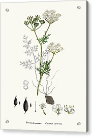 Common Earth Nut Plant Scientific Acrylic Print by Mashuk