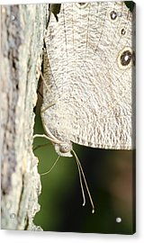 Common Evening Brown Butterfly Acrylic Print by Science Photo Library