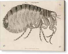 Common Flea (pulex)           Date 1810 Acrylic Print by Mary Evans Picture Library