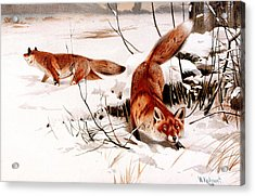 Common Fox In The Snow Acrylic Print