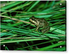 Common Frog Acrylic Print by Dr Morley Read/science Photo Library.