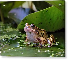 Common Frog Acrylic Print