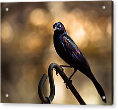 Acrylic Print featuring the photograph Common Grackle by Robert L Jackson