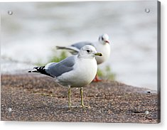 Common Gull And Black-headed Gull Acrylic Print by John Devries/science Photo Library