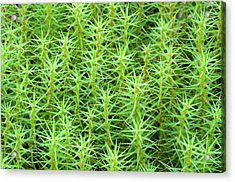 Common Hair-moss Acrylic Print by Nigel Downer