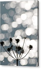 Common Hogweed (heracleum Sphondylium) Acrylic Print by Dr. John Brackenbury/science Photo Library