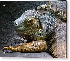Common Iguana Relaxing Acrylic Print by Margaret Saheed