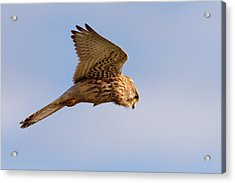 Common Kestrel Hovering In The Sky Acrylic Print by Roeselien Raimond