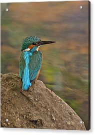 Acrylic Print featuring the photograph Common Kingfisher by Paul Scoullar