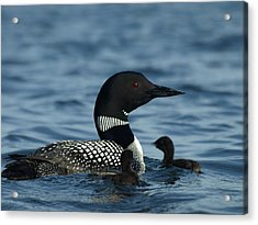 Common Loon Family Acrylic Print
